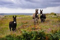 Carna Donkeys
