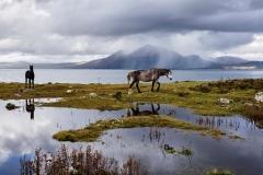 Connemara-Ponies-Renvyle