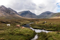 Cows at Gleninagh